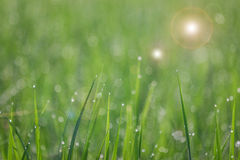 Close up of fresh thick grass with water drops. In the early morning Stock Photos