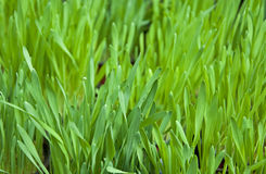 Close up of fresh thick grass Stock Image