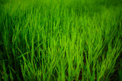 Close up of fresh thick grass with water drops in the early morning. Close up of fresh thick grass with water drops Royalty Free Stock Photos