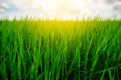 Close up of fresh thick grass with water drops in the early morning. Close up of fresh thick grass with water drops Stock Images