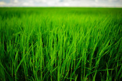 Close up of fresh thick grass with water drops in the early morning Royalty Free Stock Photography