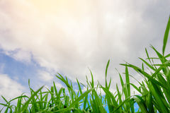 Close up of fresh thick grass with water drops in the early morning. Close up of fresh thick grass with water drops Royalty Free Stock Photo