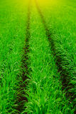 Close up of fresh thick grass with water drops in the early morning. Close up of fresh thick grass with water drops Stock Image