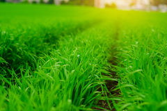 Close up of fresh thick grass with water drops in the early morning. Close up of fresh thick grass with water drops Royalty Free Stock Image