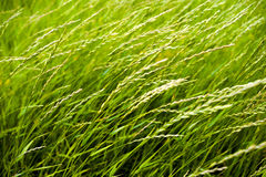 Close up of fresh thick grass with water drops in the early morning. Stock Photography