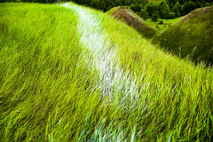 Close up of fresh thick grass with water drops in the early morning. Royalty Free Stock Photography