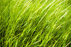 Close up of fresh thick grass with water drops in the early morning. Royalty Free Stock Images