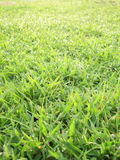 Close up of fresh thick grass with water drops in the early morning Royalty Free Stock Image