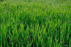Close up of fresh thick grass with water drops in the early morning, green background Royalty Free Stock Image