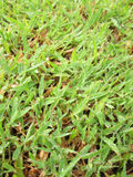 Close up of fresh thick grass with water drops in the early morning Royalty Free Stock Images
