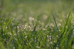 Close up fresh thick grass with water drops in the morning blurred background. stock image
