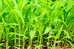 Close up of fresh thick grass Royalty Free Stock Photos