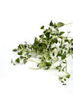 Close up of fresh thyme Royalty Free Stock Image