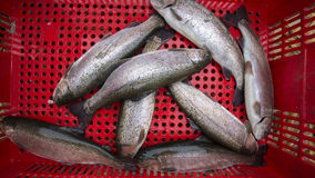 Close up fresh trout fish in red plastic basket. Bolivia Royalty Free Stock Photos