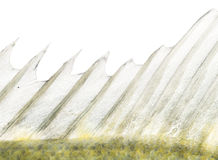 Close-up of a Fresh water aquarium fish's dorsal fin Stock Photo