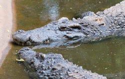 Close up  fresh water crocodiles Royalty Free Stock Photography