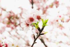 Closeup of Fresh white sakura in the garden Royalty Free Stock Photos