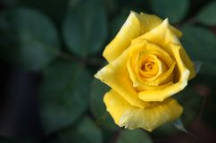 close up of fresh yellow rose flower Royalty Free Stock Image