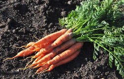 Close up of the fresh young carrot Stock Photos