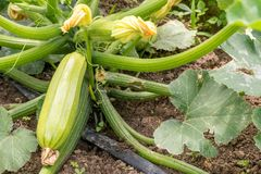 Close up of fresh zucchini with flowers. In the garden royalty free stock photography
