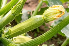 Close up of fresh zucchini with flowers. In the garden stock photography