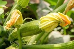 Close up of fresh zucchini with flowers. In the garden stock photos