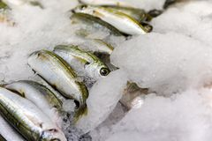 Close-Up Of Freshly Caught Bogue Fish Or Boops Boops For Sale In The Greek Fish Market. A close-up of freshly caught bogue fish or Boops Boops for sale in the Royalty Free Stock Image
