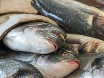 Close up of freshly caught fresh fish. Royalty Free Stock Images