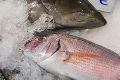 Close-Up Of Freshly Caught Red Porgy Or Pagrus Pagrus On Ice For Sale In The Greek Fish Market Stock Photo