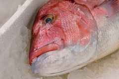 Close-Up Of Freshly Caught Red Snapper Or Lutjanus Campechanus With Sharp Teeth On Ice For Sale In The Greek Fish Market Stock Photos
