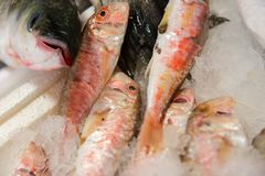 Close-Up Of Freshly Caught Striped Red Mullet Or Mullus Surmuletus On Ice For Sale In The Greek Fish Market royalty free stock image