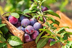 Fresh cherry plums in wooden box close. Close up freshly picked cherry plums in wooden box. Selective focus. Healthy vegetarian summer diet stock image