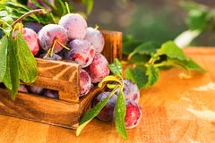 Fresh cherry plums in wooden box close. Close up freshly picked cherry plums in wooden box. Selective focus. Healthy vegetarian summer diet royalty free stock photo