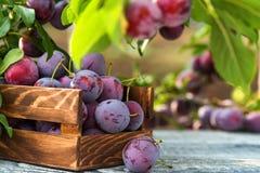 Fresh cherry plums in wooden box close. Close up freshly picked cherry plums in wooden box. Selective focus. Healthy vegetarian summer diet stock photo