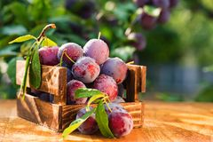 Fresh cherry plums in wooden box close. Close up freshly picked cherry plums in wooden box. Selective focus. Healthy vegetarian summer diet stock images