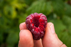 Close up of freshly picked raspberry Royalty Free Stock Photography