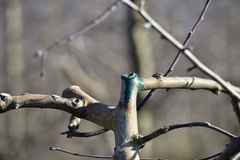 Close up of freshly pruned and protected apple tree branch Stock Photos