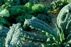 Close up of freshTuscan kale royalty free stock images