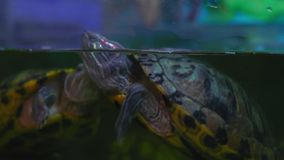 Close-up, Freshwater Turtle Emerged on Surface in Aquarium stock video