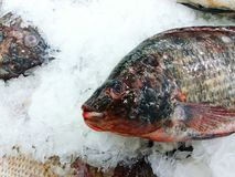 Close up fresness tilapia fish putting on ice. For shopping at supermarket Royalty Free Stock Photography