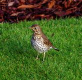 Close up of a friendly Thrush Royalty Free Stock Photo