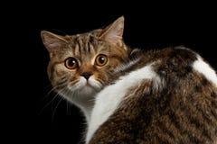 Close-up Frightened Scottish Cat Turned back Head, Isolated Black Background Stock Photos