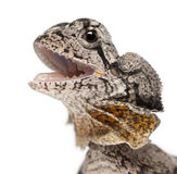 Close-up of Frill-necked lizard Stock Photography