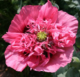 Close up of frilled poppy Stock Images