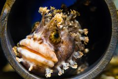 Fringed Blenny. Close up of a Fringed Blenny hiding in a pvc tube Royalty Free Stock Image
