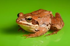 Close-up of the frog Stock Photos