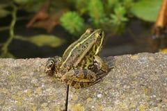 Close-up frog Stock Photos