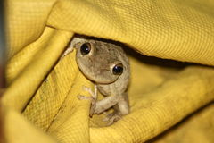 A close-up of a frog. A close-up of a brown frog hiding in a yellow tarp Royalty Free Stock Photos