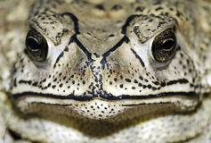 Close up of a frog Royalty Free Stock Photography