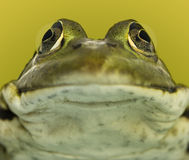 Close-up of a frog facing royalty free stock photography